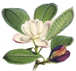 Illustrations of Himalayan plants :. London :L. Reeve,1855.