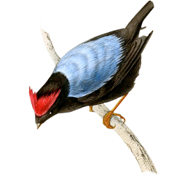 Blue-backed Manakin, Chiroxiphia pareola from \'A selection of the birds of Brazil and Mexico : the drawings\' London :H.G. Bohn,1841.