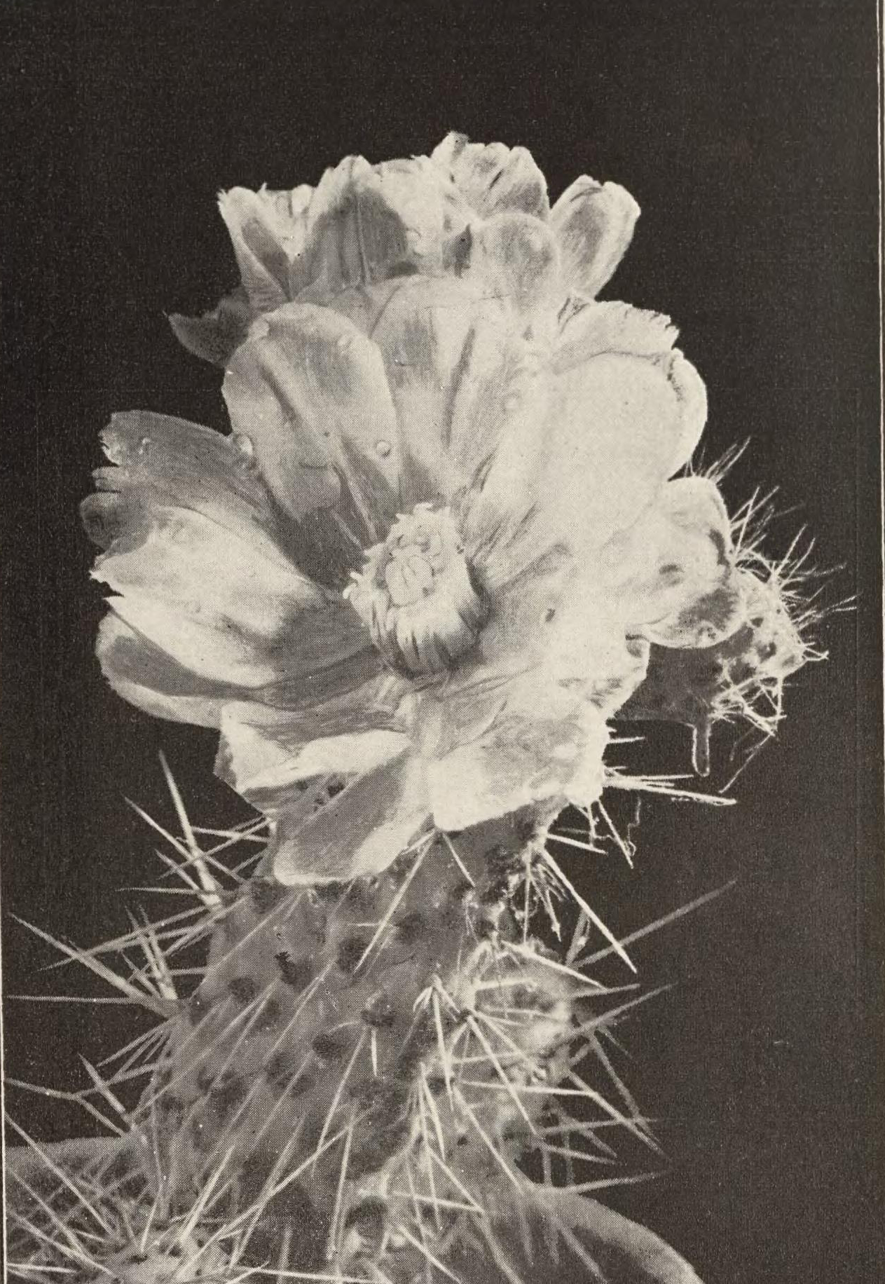 A cactus in bloom.
